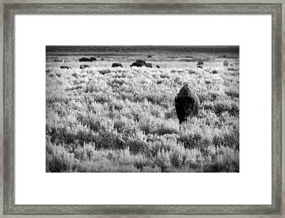 American Bison In Black And White Framed Print by Sebastian Musial