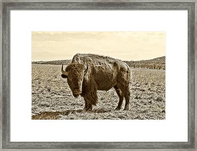 American Bison In Gold Sepia- Right View Framed Print by Tony Grider