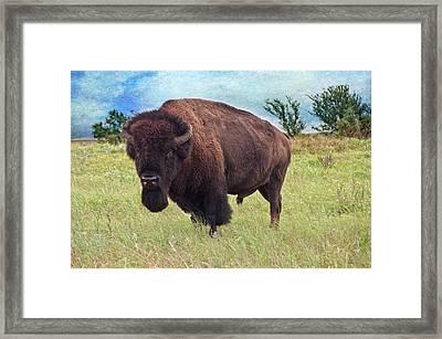 American Bison Framed Print by Tamyra Ayles