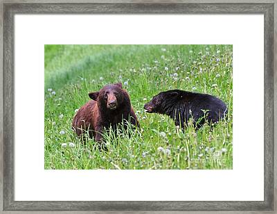 American Black Bear With Cub Framed Print by Louise Heusinkveld