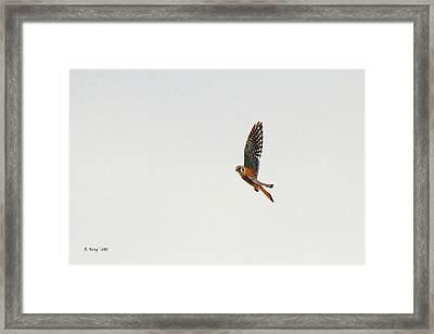 American Kestrel In Flight Framed Print by Roena King