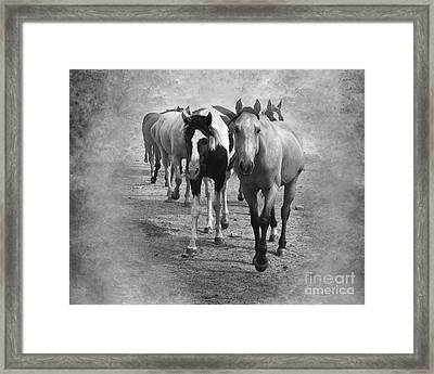 American Quarter Horse Herd In Black And White Framed Print by Betty LaRue