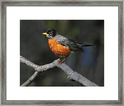 American Robin Framed Print by Tony Beck