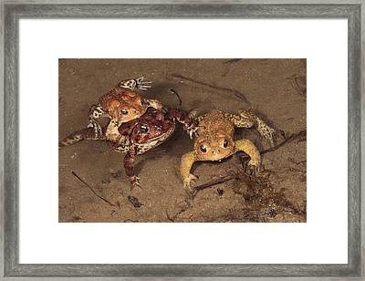 American Tods Are Assembling Framed Print by George Grall