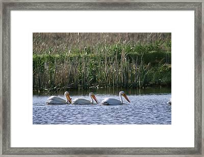 American White Pelicans Pelecanus Framed Print by Phil Schermeister