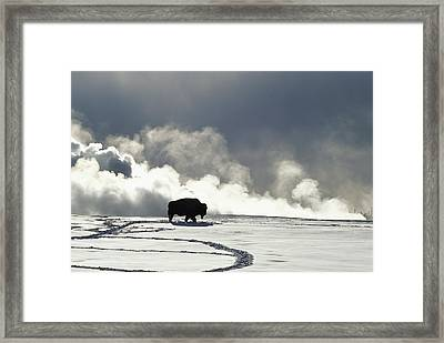 An American Bison Bison Bison Covered Framed Print by Norbert Rosing