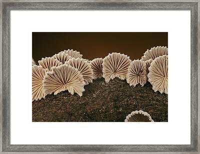 An Array Of Common Split Gill Mushrooms Framed Print by Darlyne A. Murawski