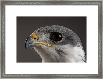 An Auger Buzzard Buteo Auger At Denver Framed Print by Joel Sartore