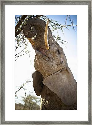 An Elephant Eats The Leaves High Up In Framed Print by David DuChemin