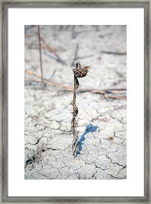 An Old Sunflower Framed Print by Joana Kruse