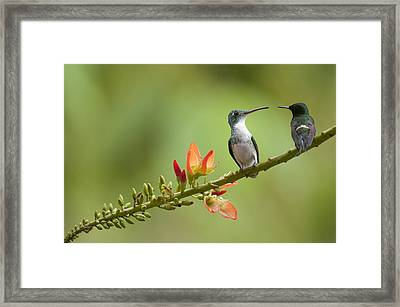 Andean Emerald Amazilia Franciae Framed Print by Murray Cooper
