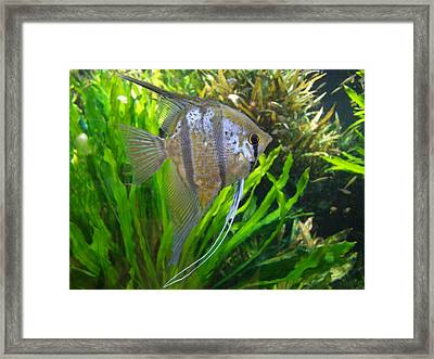 Angel Fish Framed Print by Tanya Moody