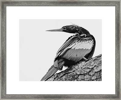 Anhinga On Branch Framed Print by Lynda Dawson-Youngclaus
