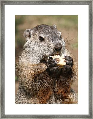 Animal - Woodchuck - Eating Framed Print by Paul Ward