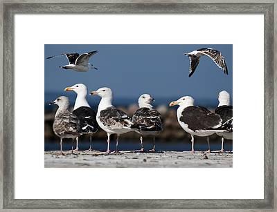 Annual Seagull Congress Framed Print by Michael Mogensen