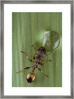 Ant Drinking From Water Droplet Papua Framed Print by Piotr Naskrecki