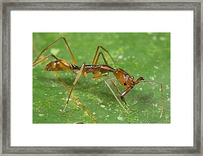 Ant Showing Large Mandibles Guyana Framed Print by Piotr Naskrecki