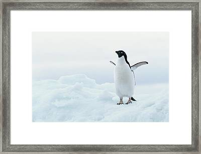 Antarctica, Adelie Penguin (pygoscelis Adeliae) On Iceberg Framed Print by Joseph Van Os