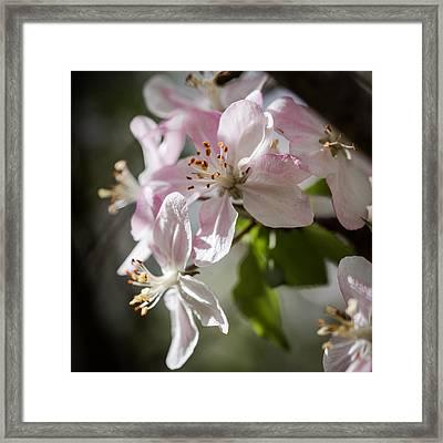Apple Blossom Framed Print by Ralf Kaiser