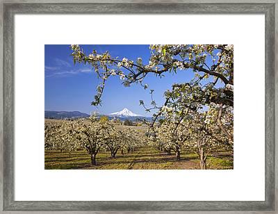 Apple Blossom Trees In Hood River Framed Print by Craig Tuttle