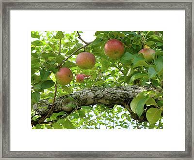 Macintosh Apples Framed Print by Lynn-Marie Gildersleeve
