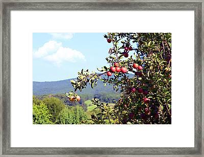 Apples On A Tree Framed Print by Susan Leggett