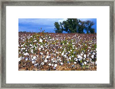 Approaching Storm Cotton Field  Framed Print by Thomas R Fletcher
