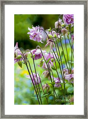 Aquilegia In Spring Flowers Framed Print by Donald Davis