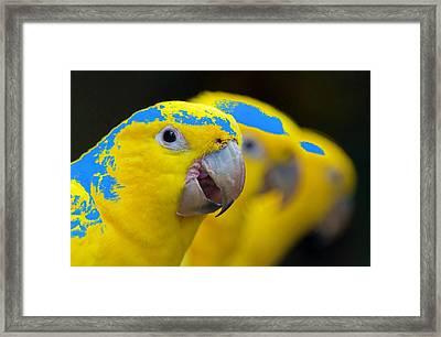 Ararajuba Framed Print by MaViLa