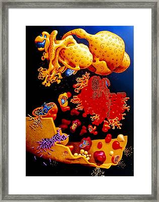 Artwork Of Er, Golgi Body, Plasma Membrane Of Cell Framed Print by Francis Leroy, Biocosmos