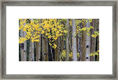 Aspen Gold Framed Print by Adam Pender