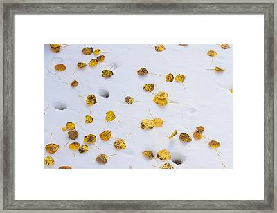 Aspen Leaves In The Snow Framed Print by James BO  Insogna