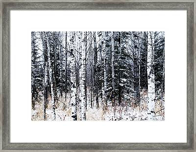 Aspens And Conifers Framed Print by Larry Ricker