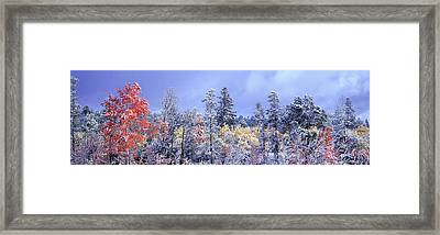 Aspens In Fall With Snow, Near 100 Mile Framed Print by David Nunuk
