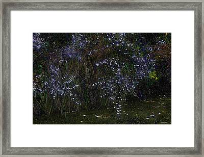 Aster Days Framed Print by Ron Jones