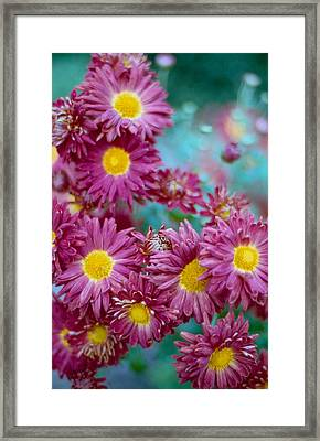 Asters Framed Print by Marcio Faustino
