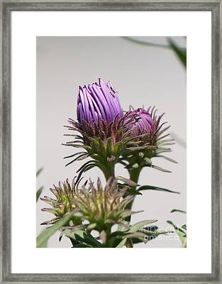 Asters Ready To Bloom Framed Print by Robert E Alter Reflections of Infinity