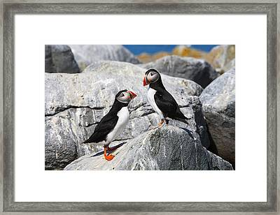 Atlantic Puffins Framed Print by Bruce J Robinson