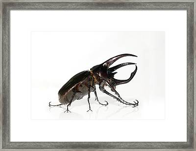 Atlas Beetle Framed Print by Chris Hellier