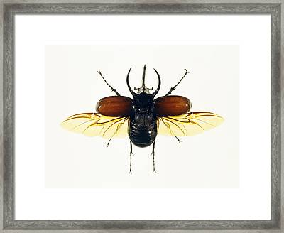Atlas Beetle Framed Print by Lawrence Lawry