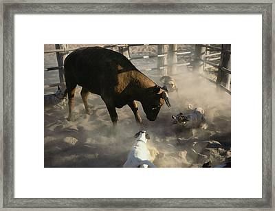Australian Cattle Dogs Herd A Shorthorn Framed Print by Medford Taylor