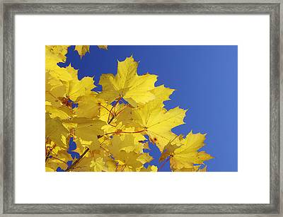 Autumn Leaves Of A Norway Maple (acer Platanoides) Framed Print by Martin Ruegner