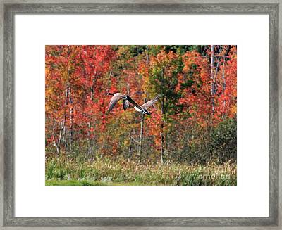 Autumn Vermont Geese And Color Framed Print by Deborah Benoit
