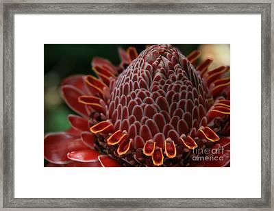 Awapuhi Ko Okoo - Torch Ginger - Etlingera Elatior  - Phaeomeria Magnifica - Hoolawa Liilii Hawaii Framed Print by Sharon Mau
