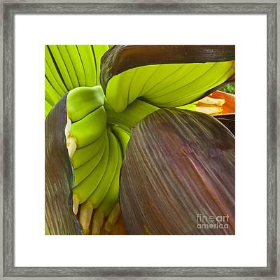 Baby Bananas Framed Print by Heiko Koehrer-Wagner