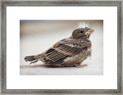 Baby Bird 1 Framed Print by Jessica Velasco
