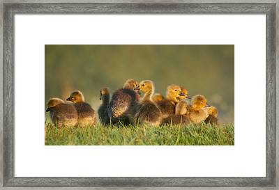 Baby Geese Framed Print by All images taken by Keven Law of London, England.