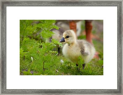 Baby Goose Framed Print by Marx Broszio