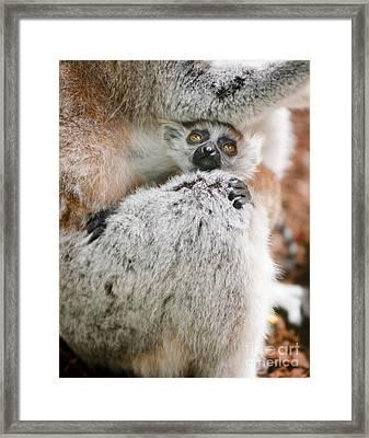 Baby Lemur Framed Print by Andrew  Michael