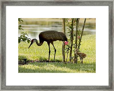 Baby Sandhill With Mom Framed Print by Carol Groenen